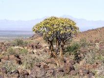Große Quvier-Baum-Zentrale Namibia lizenzfreies stockbild