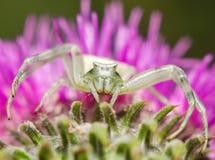 Große räuberische Spinne Lizenzfreies Stockfoto