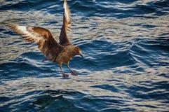Große Raubmöwe Bonxie über dem Meer lizenzfreies stockbild