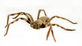 Große Regen-Spinne Stockfotografie
