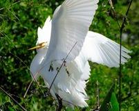 Große Reiherjugendliche (Ardea alba) Stockfoto