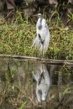 Große Reiherwasserreflexion, die auf einem Bein steht lizenzfreie stockfotos