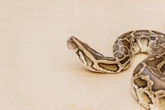Große retikulierte Pythonschlange oder Boa auf Boden lizenzfreie stockbilder