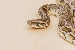 Große retikulierte Pythonschlange oder Boa auf Boden lizenzfreies stockbild