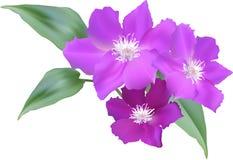 Große rosa Blumen mit den grünen Blättern lokalisiert auf Weiß lizenzfreie abbildung