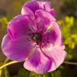 Große rosa Blumenanemone im Garten Lizenzfreie Stockfotografie