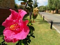 Große rosa Hibiscus-Blume im Sommer stockfotos