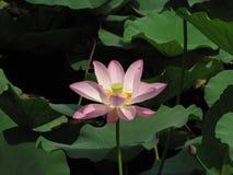 Große rosa Lotosblume unter grünen Blättern in einem Teich stockbild