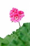 Große rosa Pelargonienblume auf einem weißen Hintergrund stockbild