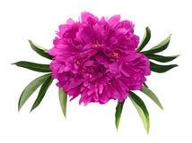 Große rosa Pfingstrose Stockbild