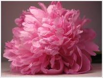 Große rosa Pfingstrose der Kappe Lizenzfreie Stockbilder