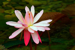 Große rosa Seerose stockbilder