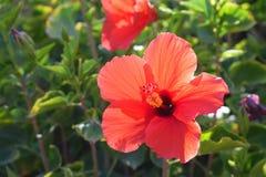 Große rosa und rote Blume Stockfotografie