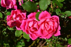 Große rosa volle Rosen ausgerichtet Lizenzfreies Stockbild