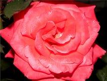 Große Rosarose blühte stockfotografie