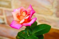 Große Rose mit Rosa und Salmon Petals lizenzfreie stockfotografie