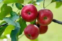Große rote Äpfel im Baum Lizenzfreies Stockbild
