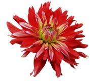 Große rote Blume öffnet sich auf einem weißen Hintergrund, der mit Beschneidungspfad lokalisiert wird nahaufnahme Seitenansicht f Stockfotos