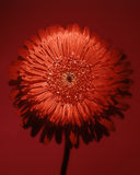 Große rote Blume Lizenzfreie Stockfotografie