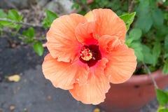 Große rote Blume Stockbilder