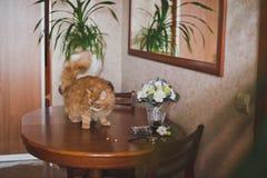 Große rote Katze auf dem Couchtisch stockfoto