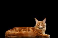 Große rote Maine Coon Cat Lying Isolated auf schwarzem Hintergrund Stockbilder