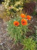 Große rote Mohnblumen des Gartens im Mai Lizenzfreie Stockfotos