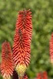 Große rote torchlike Blumen Stockbild
