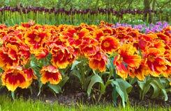Große rote Tulpen Stockfoto