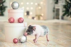 Große runde Weihnachtsgeschenke nahe bei einem kleinen beschmutzten Schwein, ein Symbol des neuen Jahres stockfotos