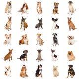 Große Sammlung gemeine Zucht-Hunde Stockfotos