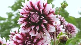 Große schöne Dahlie mit den rot-weißen Blumenblättern Abschluss oben Lizenzfreie Stockfotografie