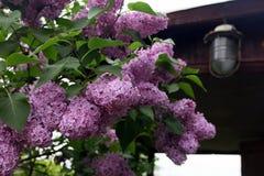 Große schöne gute Niederlassung der purpurroten lila Blume mit grünem leav Stockbild