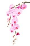 Große schöne Niederlassung der rosa Orchidee blüht mit den Knospen Stockbild