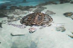 Große schöne Schildkröte, die in das Meer nahe dem Ufer schwimmt Stockfoto