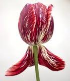 Große schöne Tulpe Stockbilder