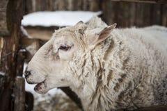 Große Schafe im Schnee im Winter in einem Schutz in einem rustikalen Bauernhof Stockfotografie