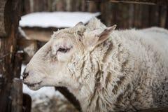 Große Schafe im Schnee im Winter in einem Schutz in einem rustikalen Bauernhof Stockbilder