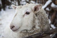 Große Schafe im Schnee im Winter in einem Schutz in einem rustikalen Bauernhof Stockfotos