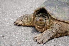 Große Schildkröte auf einer Straße Lizenzfreie Stockfotos