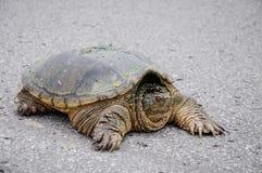 Große Schildkröte auf einer Straße Lizenzfreie Stockbilder