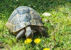 Große Schildkröte isst Löwenzahn Lizenzfreie Stockfotografie