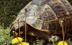 Große Schildkröte isst Löwenzahnnahaufnahme Stockbilder