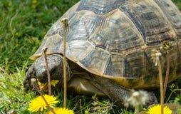Große Schildkröte isst Löwenzahnnahaufnahme Stockfotos