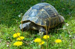 Große Schildkröte isst Löwenzahnnahaufnahme Lizenzfreie Stockbilder