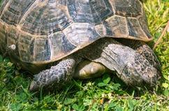 Große Schildkröte isst Löwenzahnnahaufnahme Stockfotografie