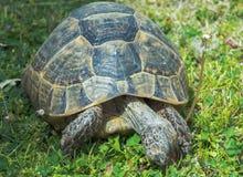 Große Schildkröte isst Löwenzahnnahaufnahme Lizenzfreie Stockfotos