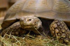 Große Schildkröte liegt im Sägemehl Stockbild