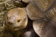 Große Schildkröte liegt im Sägemehl Lizenzfreies Stockbild