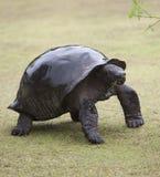 Große Schildkröte mit nassem Shell grünen Zweig essend Lizenzfreies Stockbild